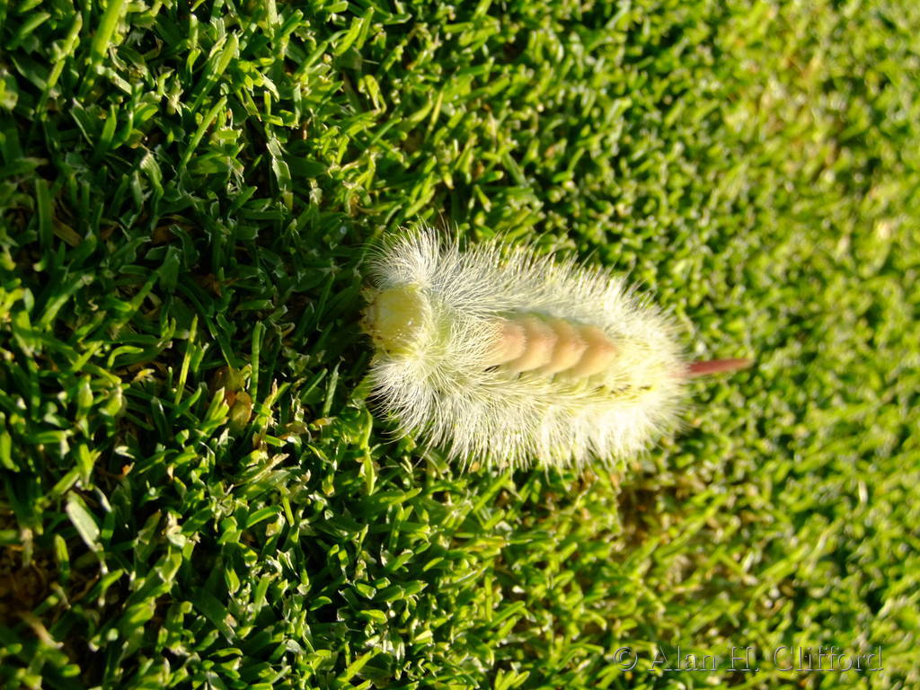 Pale Tussock on the 9th green