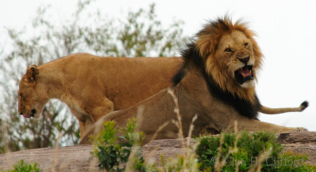 Snarling lion with lioness