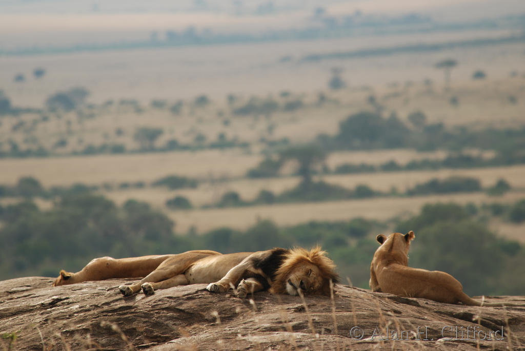 Lions on a rock overlooking the Mara