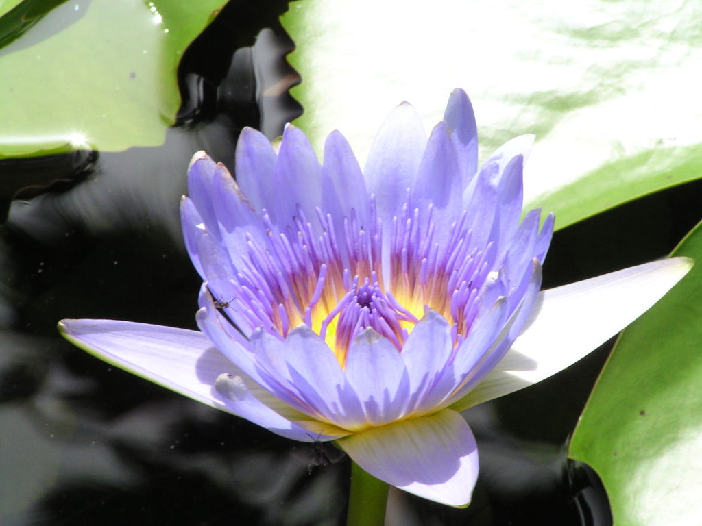 Water lily in the botanical gardens, Scarborough, Tobago
